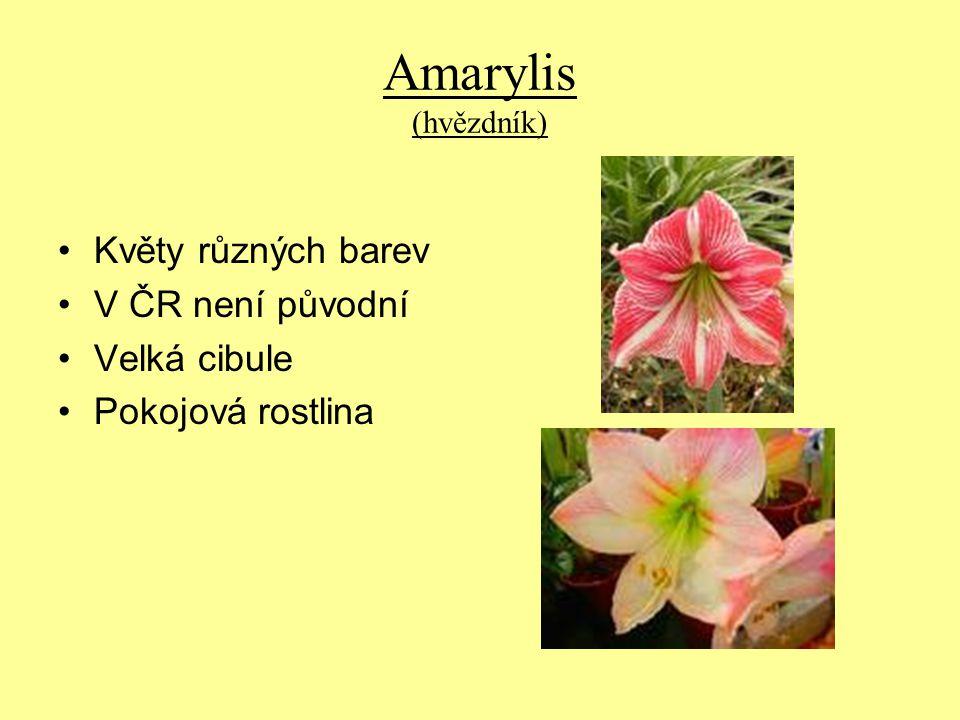 Amarylis (hvězdník) Květy různých barev V ČR není původní Velká cibule Pokojová rostlina