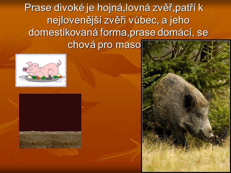 Lov samců (kňourů) povolen celoročně, lov samic (bachyň) od 1.