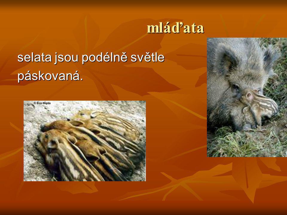 Maminka-bachyně Samice prasete divokého je bachyně Výborně reaguje na zvuk. Obvykle rodí 2-9 selat.