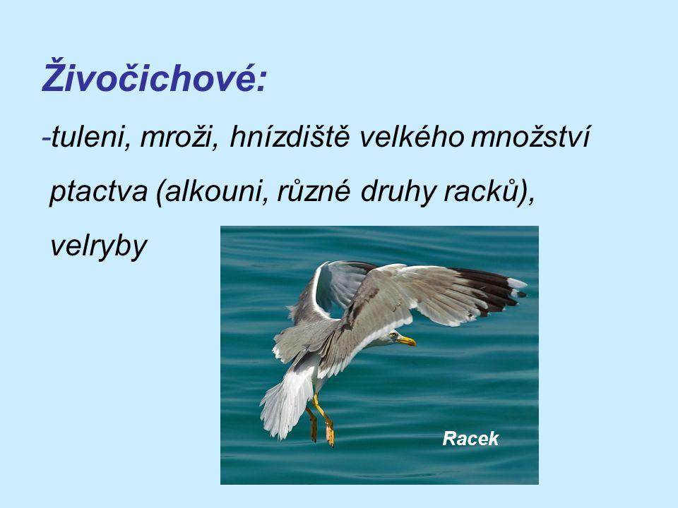 Živočichové: -tuleni, mroži, hnízdiště velkého množství ptactva (alkouni, různé druhy racků), velryby Racek