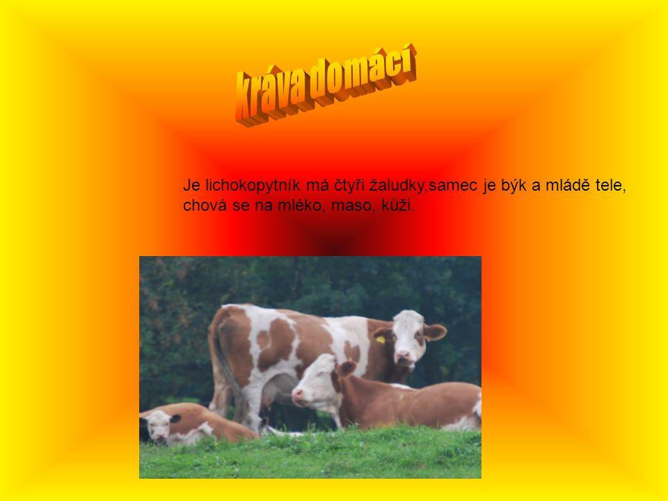Je lichokopytník má čtyři žaludky,samec je býk a mládě tele, chová se na mléko, maso, kůži.