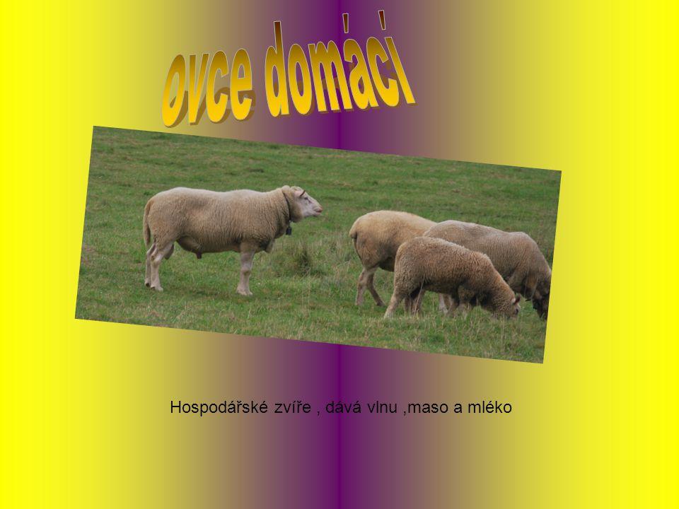 Hospodářské zvíře, dává vlnu,maso a mléko