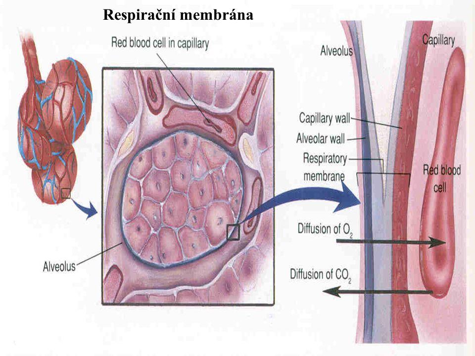 Difuse podle tlakového gradientu - z oblasti většího tlaku do oblasti menšího tlaku (kyslík ze vzduchu do krve, oxid uhličitý z krve do vzduchu).