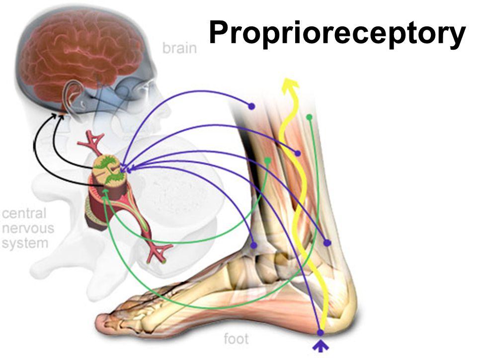 Proprioreceptory