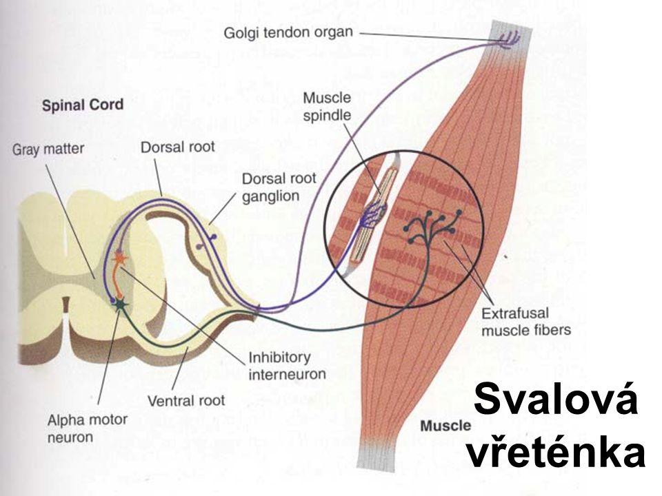 Barroreceptory v cévách