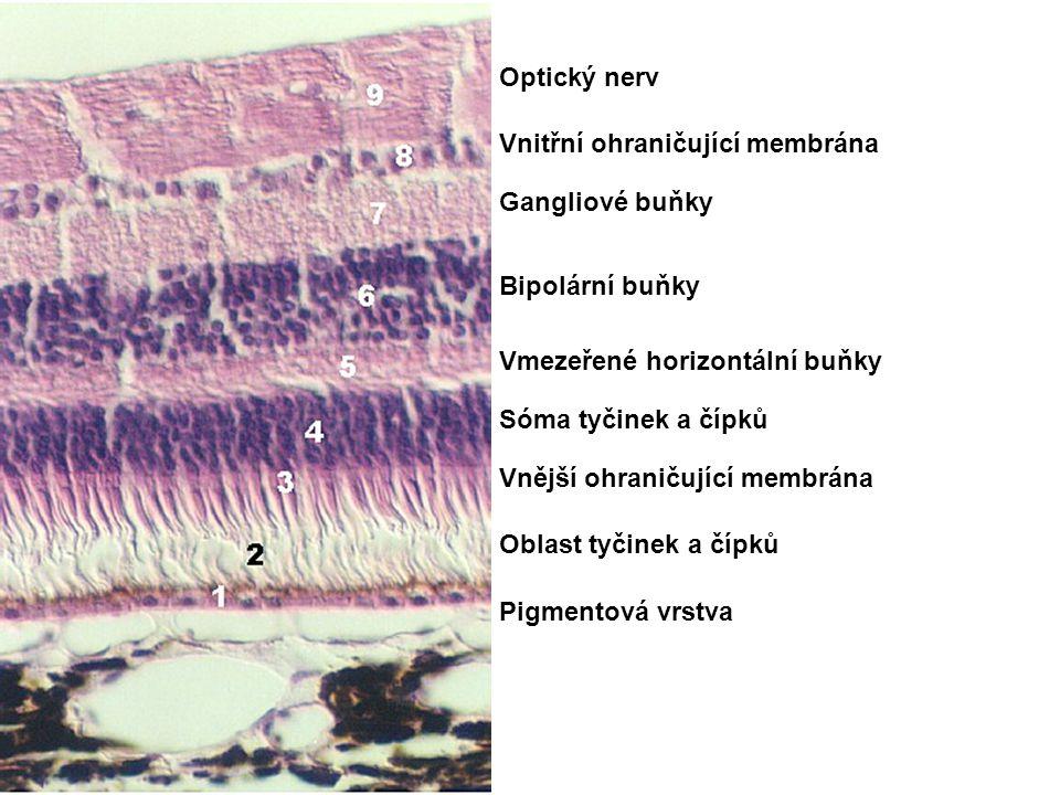 Pigmentová vrstva Oblast tyčinek a čípků Vnější ohraničující membrána Sóma tyčinek a čípků Bipolární buňky Vmezeřené horizontální buňky Gangliové buňk
