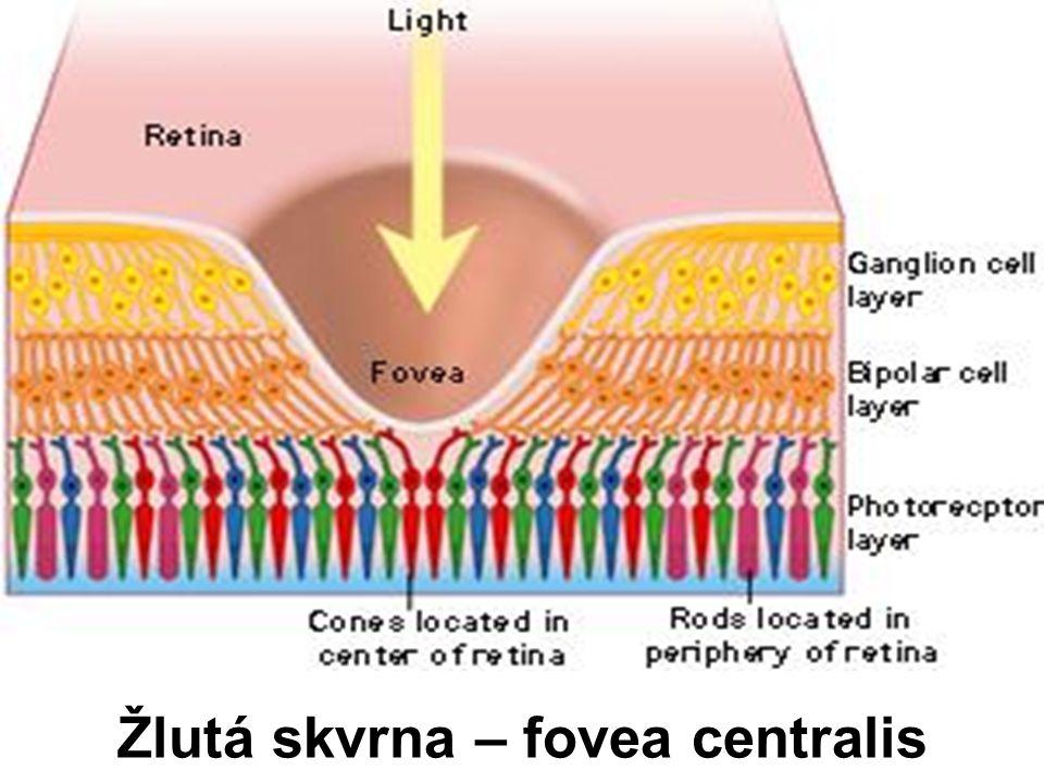 Žlutá skvrna – fovea centralis