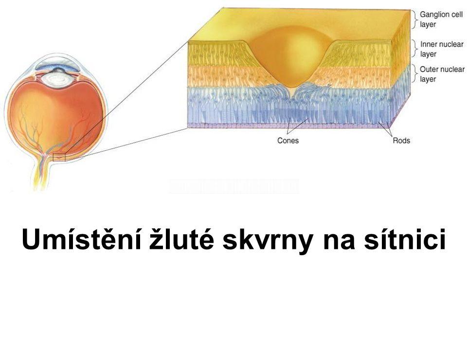 Umístění žluté skvrny na sítnici