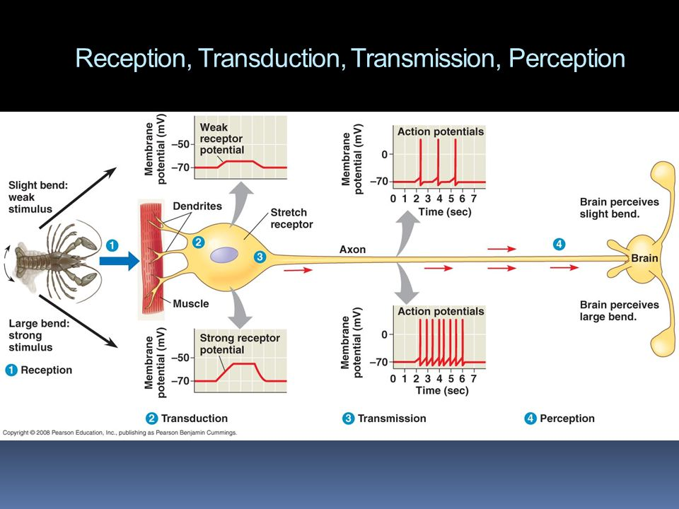Reception, Transduction, Transmission, Perception