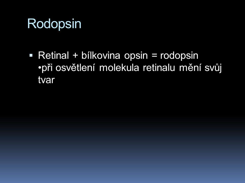 Rodopsin  Retinal + bílkovina opsin = rodopsin při osvětlení molekula retinalu mění svůj tvar
