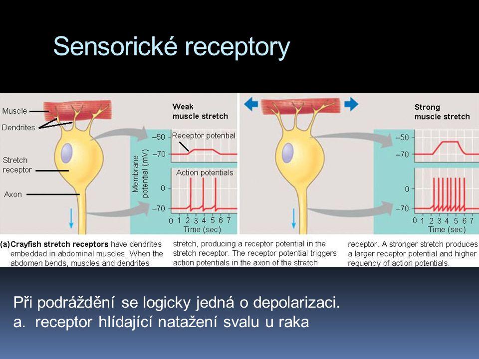 Sensorické receptory Při podráždění se logicky jedná o depolarizaci. a. receptor hlídající natažení svalu u raka