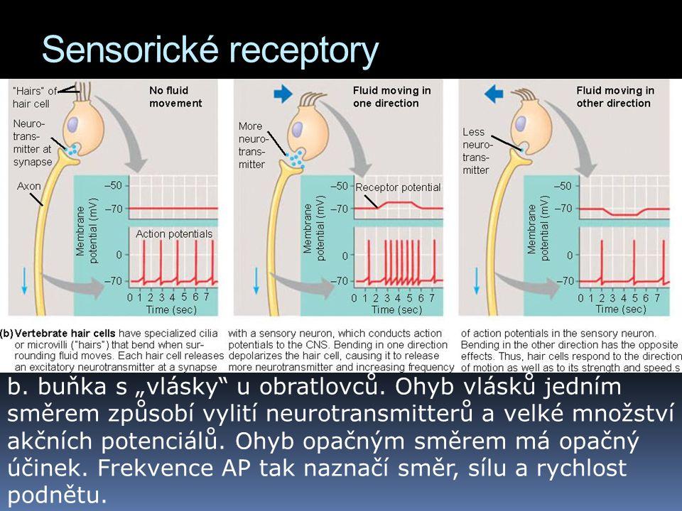 """Sensorické receptory b. buňka s """"vlásky"""" u obratlovců. Ohyb vlásků jedním směrem způsobí vylití neurotransmitterů a velké množství akčních potenciálů."""