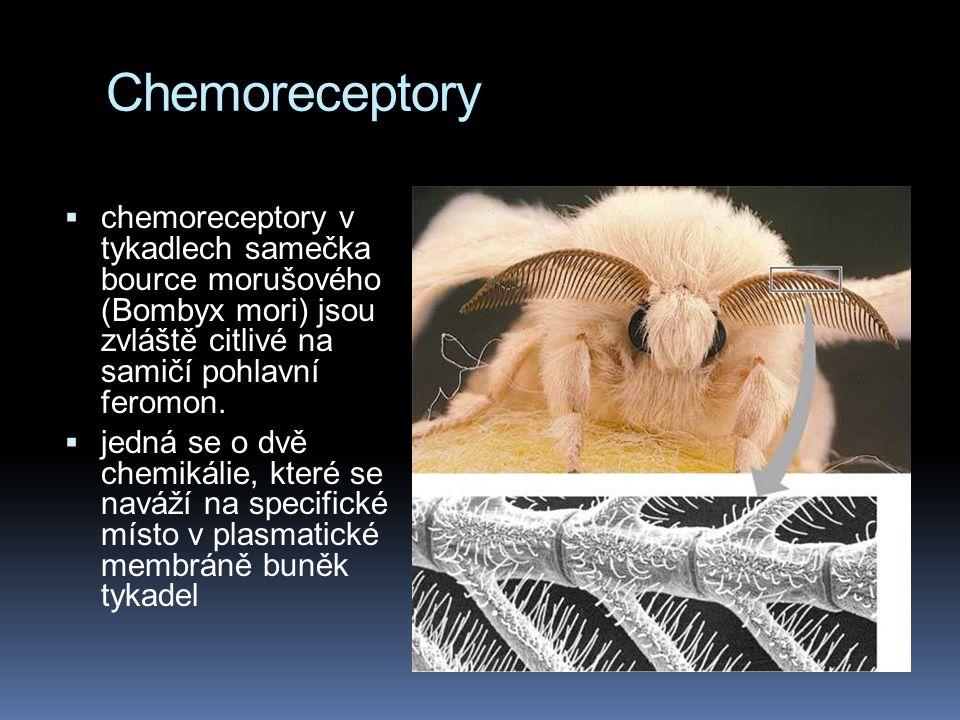 Chemoreceptory  chemoreceptory v tykadlech samečka bource morušového (Bombyx mori) jsou zvláště citlivé na samičí pohlavní feromon.  jedná se o dvě