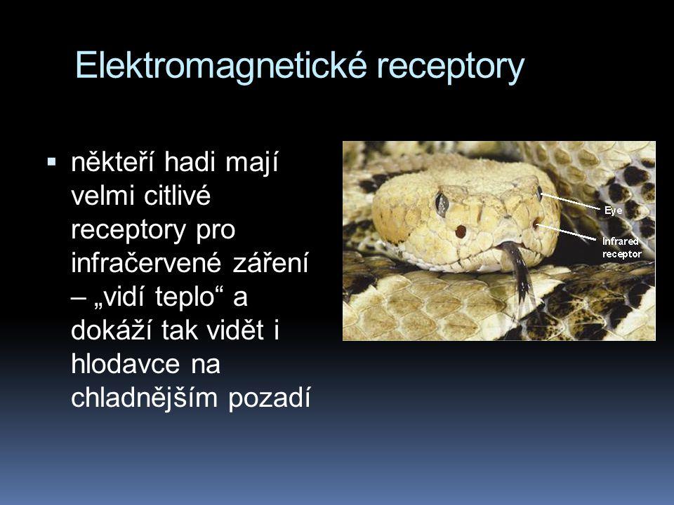 """Elektromagnetické receptory  někteří hadi mají velmi citlivé receptory pro infračervené záření – """"vidí teplo a dokáží tak vidět i hlodavce na chladnějším pozadí"""