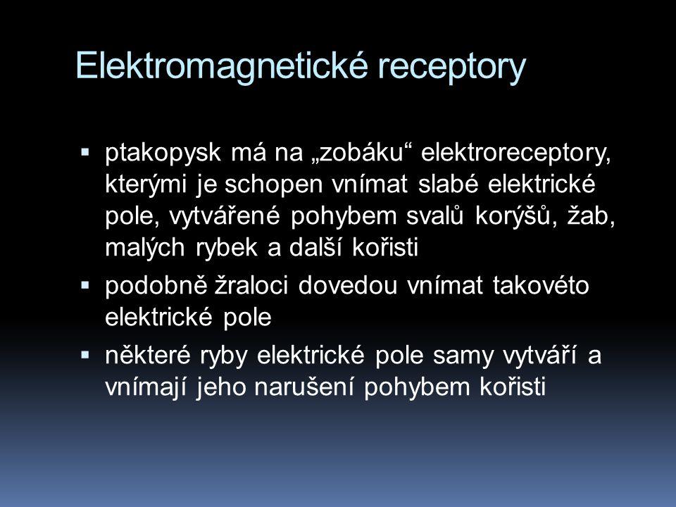 """Elektromagnetické receptory  ptakopysk má na """"zobáku elektroreceptory, kterými je schopen vnímat slabé elektrické pole, vytvářené pohybem svalů korýšů, žab, malých rybek a další kořisti  podobně žraloci dovedou vnímat takovéto elektrické pole  některé ryby elektrické pole samy vytváří a vnímají jeho narušení pohybem kořisti"""