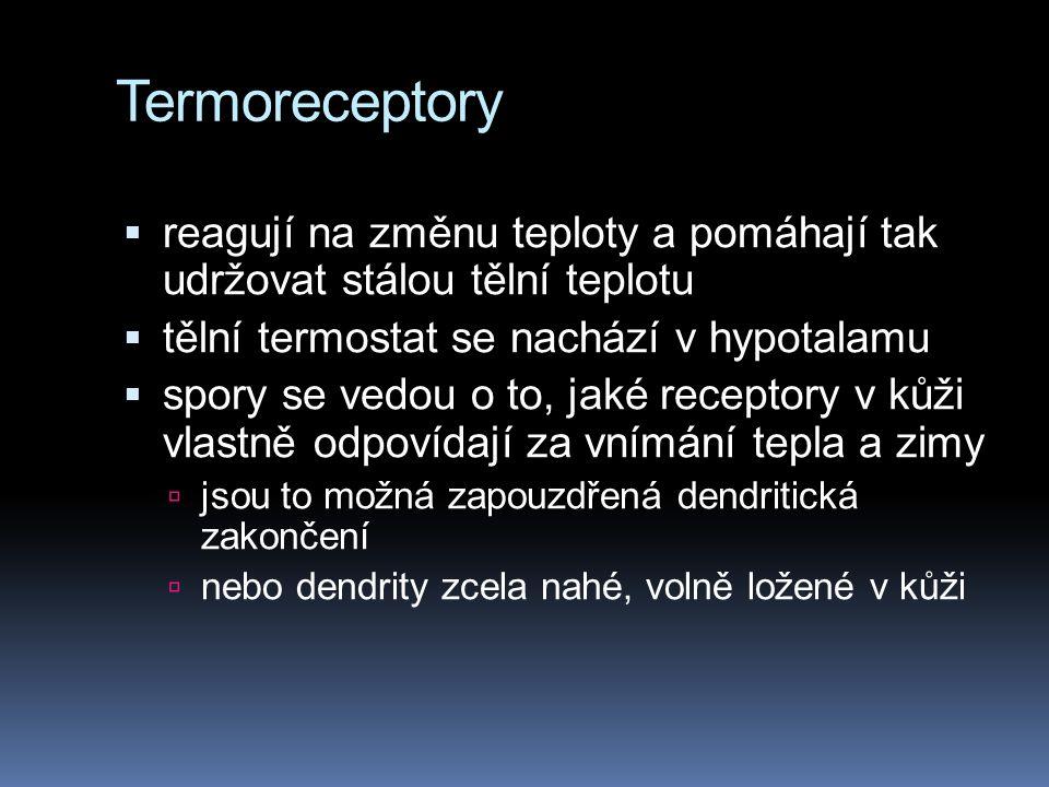 Termoreceptory  reagují na změnu teploty a pomáhají tak udržovat stálou tělní teplotu  tělní termostat se nachází v hypotalamu  spory se vedou o to