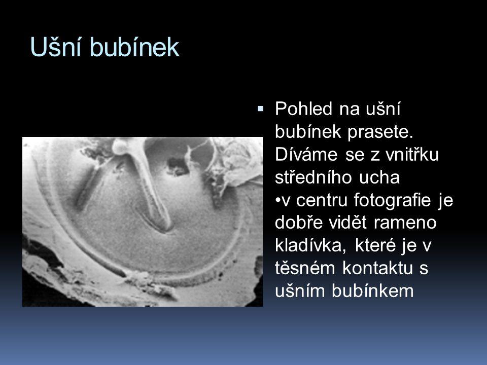 Ušní bubínek  Pohled na ušní bubínek prasete. Díváme se z vnitřku středního ucha v centru fotografie je dobře vidět rameno kladívka, které je v těsné