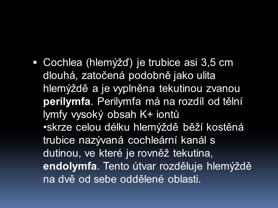  Cochlea (hlemýžď) je trubice asi 3,5 cm dlouhá, zatočená podobně jako ulita hlemýždě a je vyplněna tekutinou zvanou perilymfa. Perilymfa má na rozdí