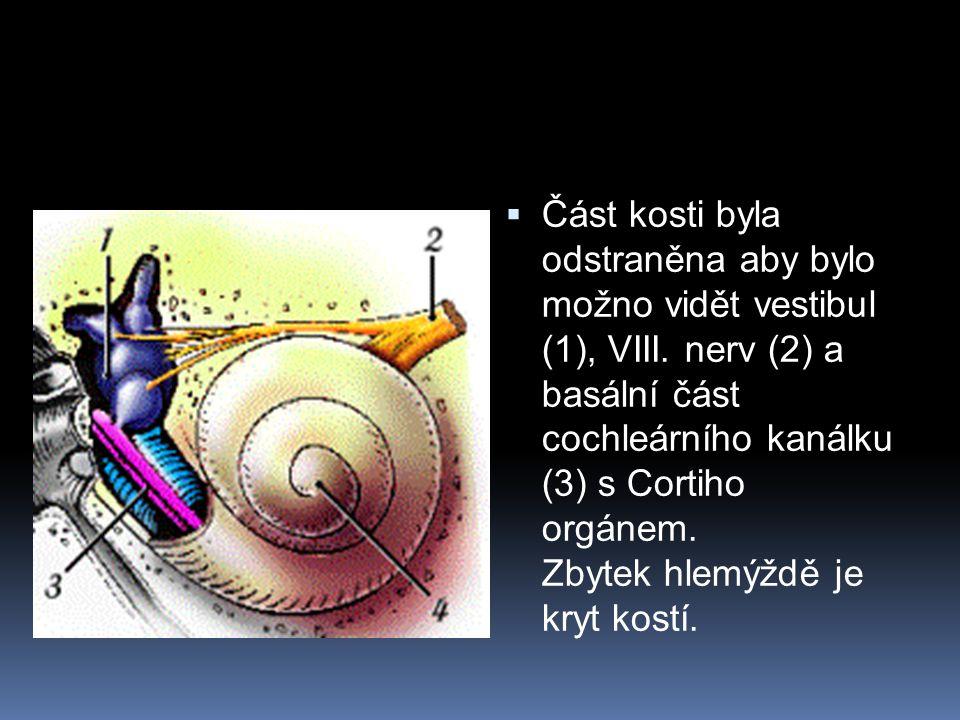 Část kosti byla odstraněna aby bylo možno vidět vestibul (1), VIII. nerv (2) a basální část cochleárního kanálku (3) s Cortiho orgánem. Zbytek hlemý