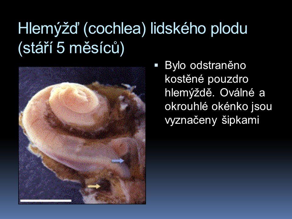Hlemýžď (cochlea) lidského plodu (stáří 5 měsíců)  Bylo odstraněno kostěné pouzdro hlemýždě. Oválné a okrouhlé okénko jsou vyznačeny šipkami