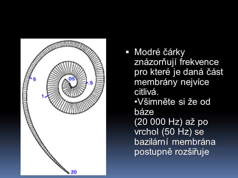  Modré čárky znázorňují frekvence pro které je daná část membrány nejvíce citlivá. Všimněte si že od báze (20 000 Hz) až po vrchol (50 Hz) se bazilár