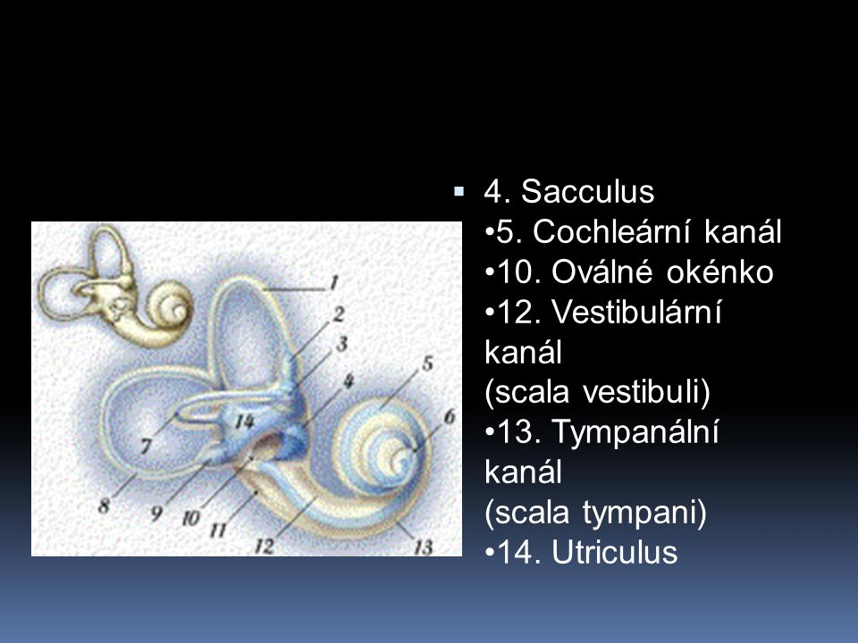  4. Sacculus 5. Cochleární kanál 10. Oválné okénko 12. Vestibulární kanál (scala vestibuli) 13. Tympanální kanál (scala tympani) 14. Utriculus