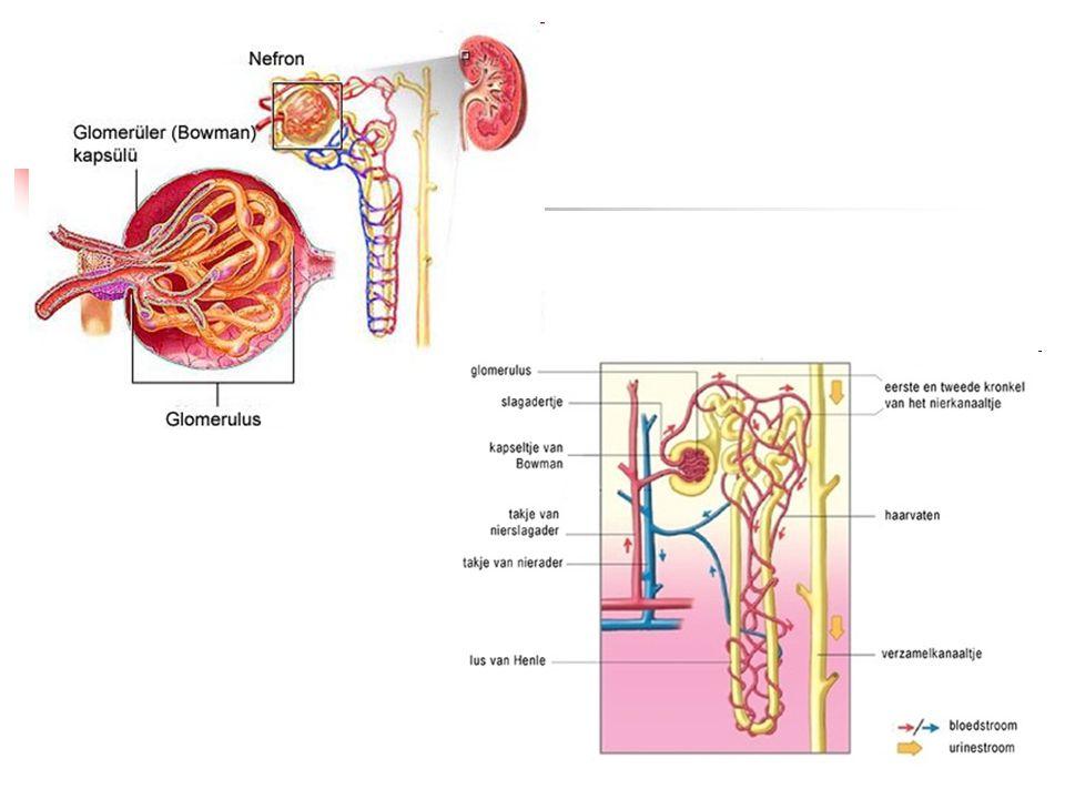 Sběrací kanálek Definitivní úprava objemu moči i jejího složení Reguluje prostupnost buněk pro vodu a ionty: A) antidiuretický hormon – ADH, vazopresin z hypotalamu – snižuje množství moče účinek – když dojde ke snížení objemu ECT a zvýšení osmolality plazmy – dochází k dráždění osmoreceptorů – uvolnění hormonu do krve – zvýšení prostupnosti buněk sběracího kanálku pro vodu – pokles objemu a vzestup koncentrace definitivní moči B) aldosteron – hormon kůry nadledvin – snižuje množství moče účinek – když dojde ke snížení koncentrace Na v ECT – uvolnění hormonu – zvýšení zpětné resorpce Na a tím i vody – snížení objemu definitivní moči – vyloučení K
