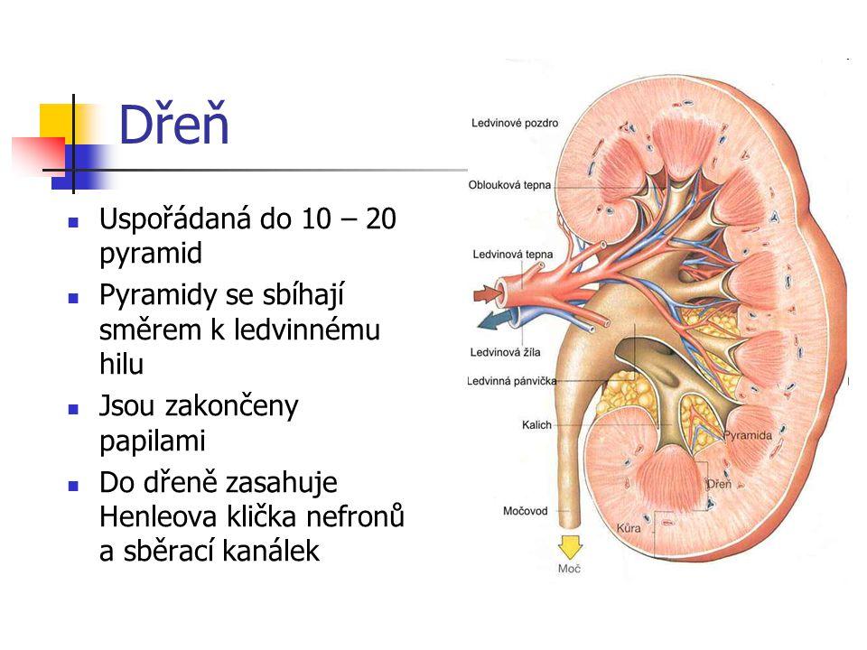 Cévní zásobení ledvin Ledvinami proteče 1200 – 1300 ml krve za minutu 90% kůrou, 10% dření Přívodná ledvinná tepna – a.renalis se postupně větví až na přívodné tepénky – vassa afferens, které vytváří klubíčko – glomerulus – zanořené do Bowmanova pouzdra Z glomerulu je krev odváděna odvodnou tepénkou – vassa efferens Odvodné tepénky vytvářejí dvě kapilární sítě – síť okolo tubulů a síť okolo Henleových kliček Průtok krve ledvinami je stabilní, regulovaný působením látek, které jsou tvořeny speciálními buňkami ledvin – renin, adenozin, prostaglandiny aj.