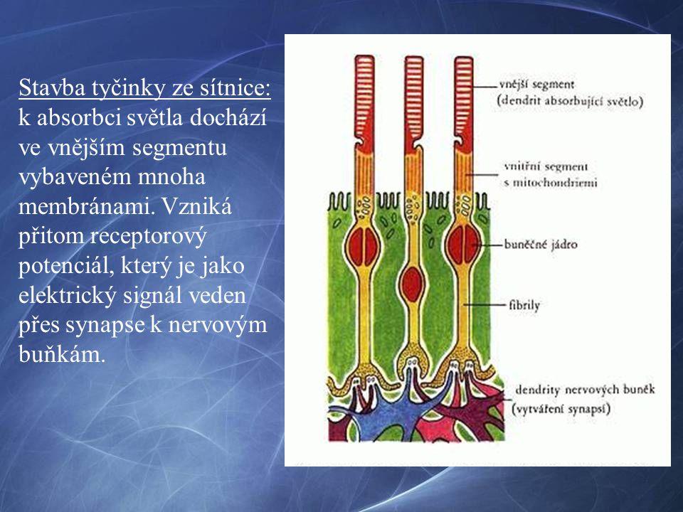 Stavba tyčinky ze sítnice: k absorbci světla dochází ve vnějším segmentu vybaveném mnoha membránami. Vzniká přitom receptorový potenciál, který je jak