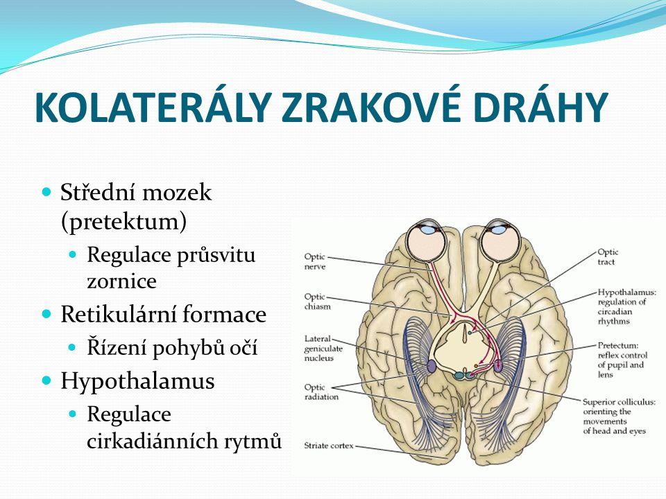 KOLATERÁLY ZRAKOVÉ DRÁHY Střední mozek (pretektum) Regulace průsvitu zornice Retikulární formace Řízení pohybů očí Hypothalamus Regulace cirkadiánních
