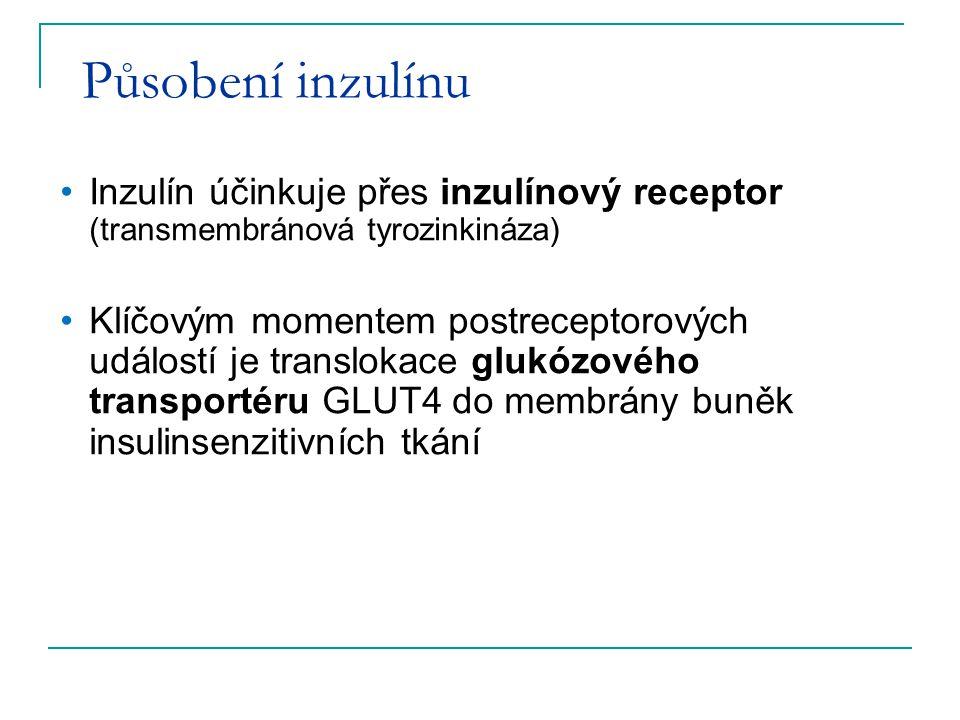 Působení inzulínu Inzulín účinkuje přes inzulínový receptor (transmembránová tyrozinkináza) Klíčovým momentem postreceptorových událostí je translokac