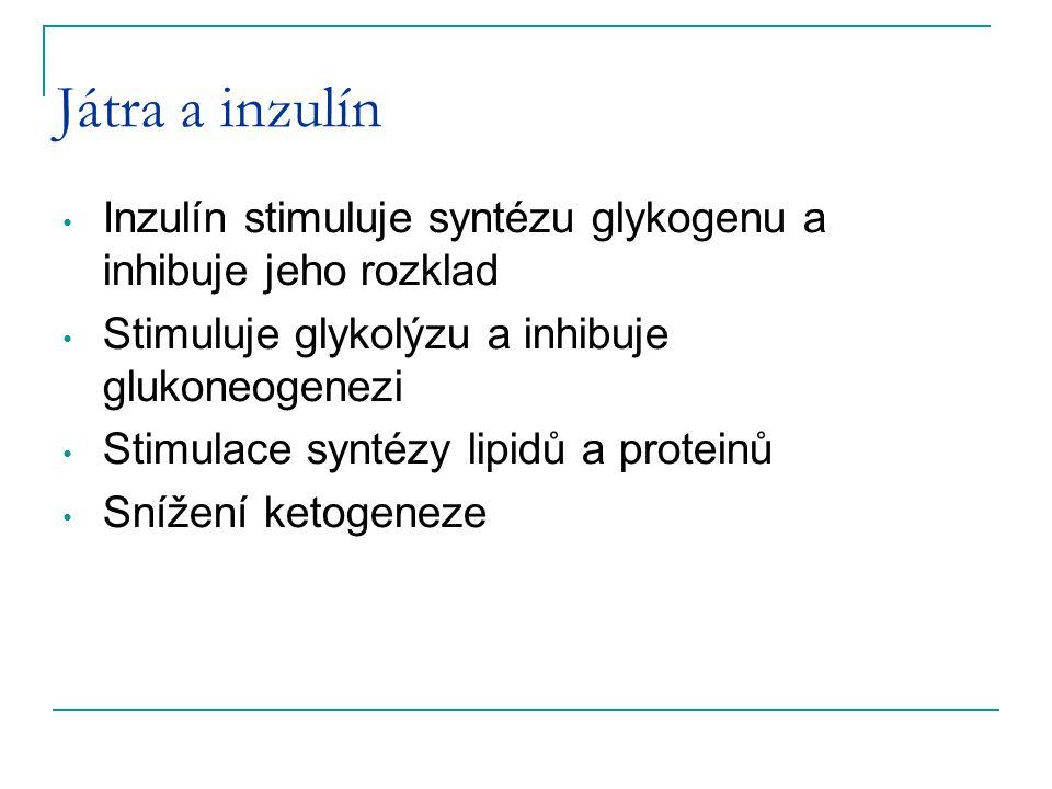Játra a inzulín Inzulín stimuluje syntézu glykogenu a inhibuje jeho rozklad Stimuluje glykolýzu a inhibuje glukoneogenezi Stimulace syntézy lipidů a p
