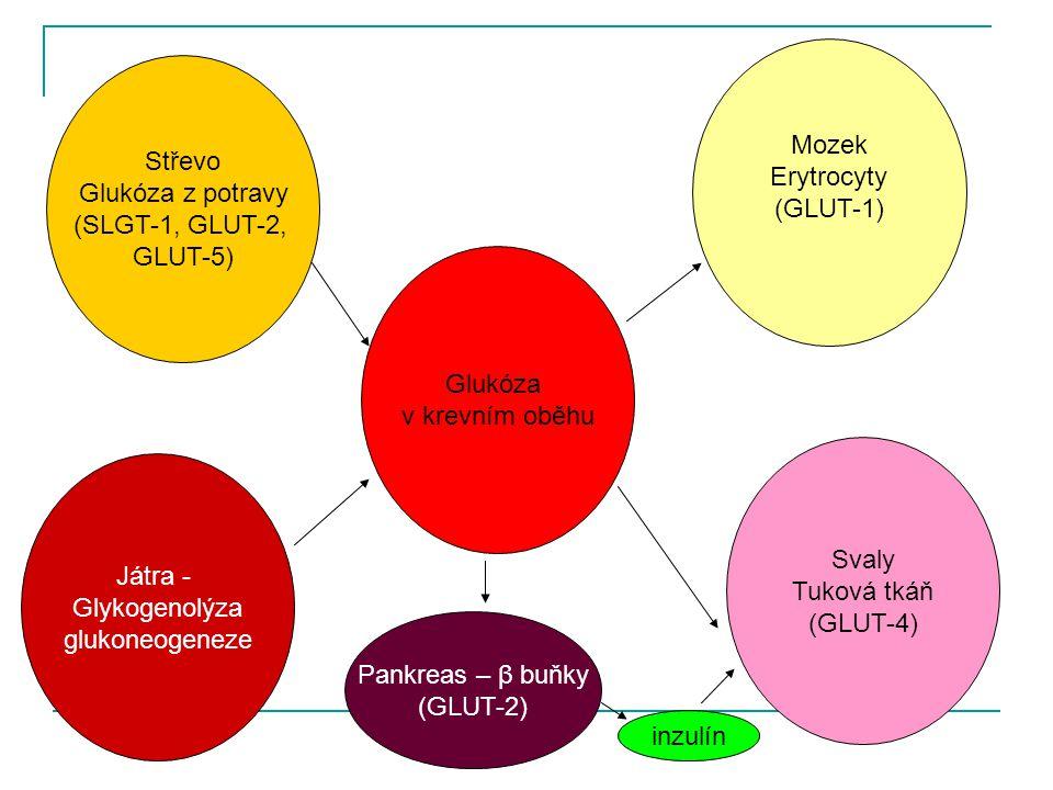 Glukóza v krevním oběhu Játra - Glykogenolýza glukoneogeneze Střevo Glukóza z potravy (SLGT-1, GLUT-2, GLUT-5) Svaly Tuková tkáň (GLUT-4) Mozek Erytro