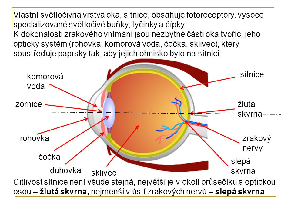 Vlastní světločivná vrstva oka, sítnice, obsahuje fotoreceptory, vysoce specializované světločivé buňky, tyčinky a čípky. K dokonalosti zrakového vním