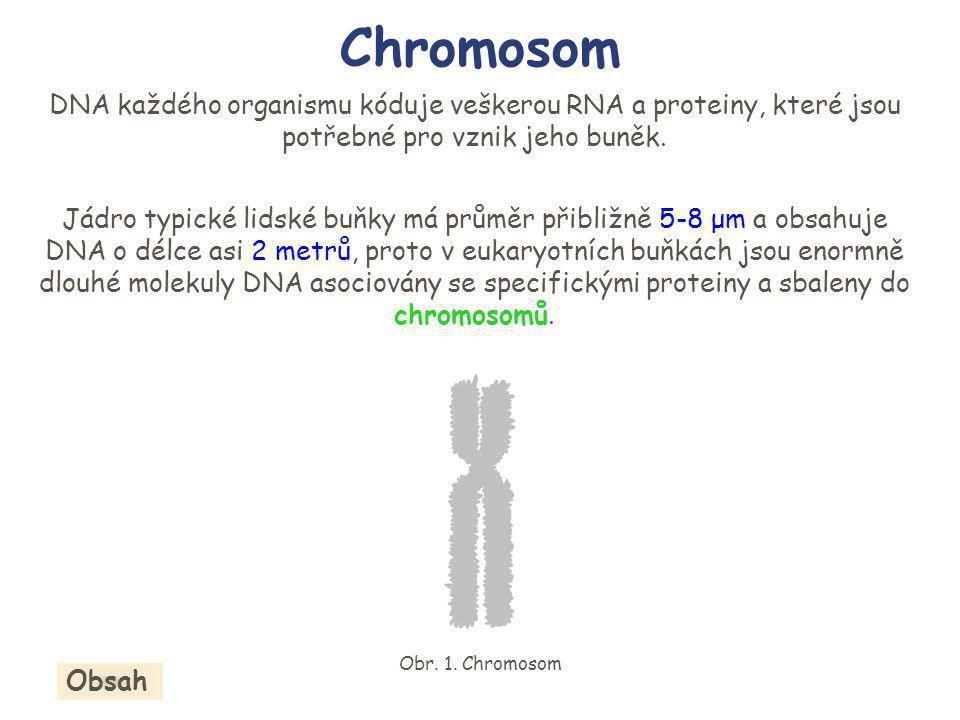 Stav chromosomů se během buněčného cyklu mění Chromosomy se vyskytují v kondenzovaném stavu (sbaleném) jen v malé části buněčného cyklu, a to v době buněčného dělení (jedná se o tzv.