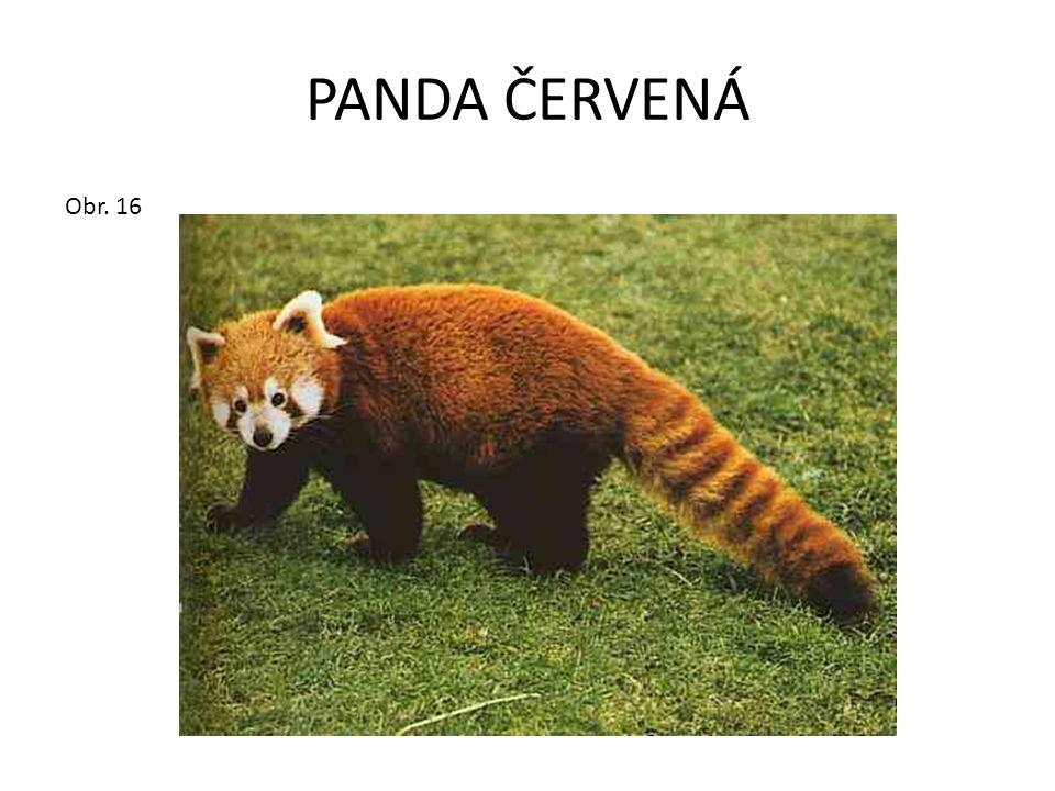 PANDA ČERVENÁ Obr. 16
