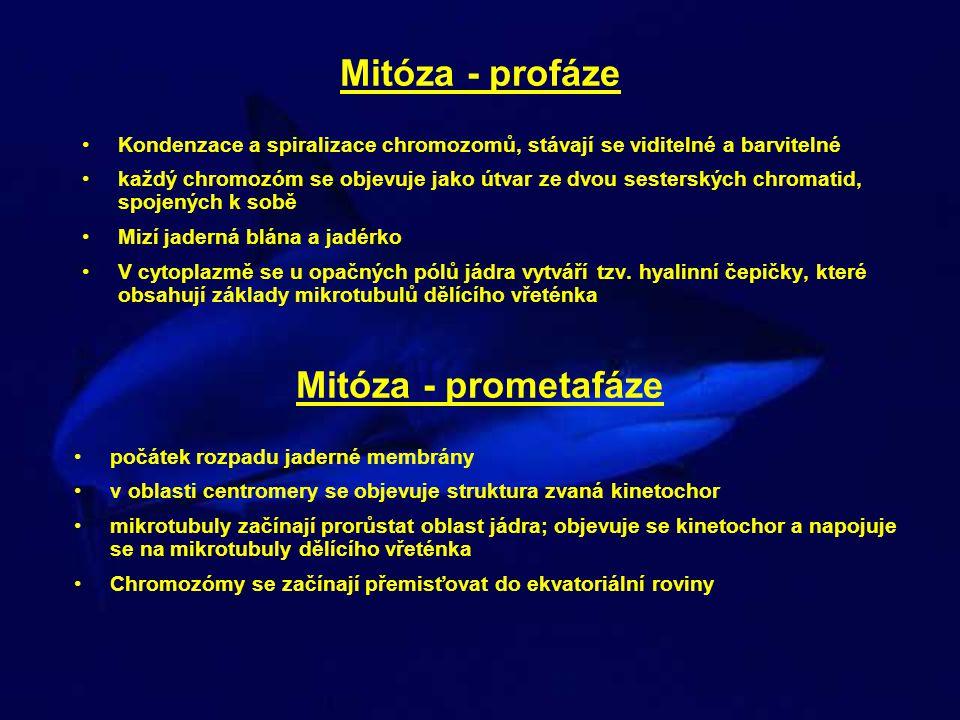 Mitóza - profáze Kondenzace a spiralizace chromozomů, stávají se viditelné a barvitelné každý chromozóm se objevuje jako útvar ze dvou sesterských chr