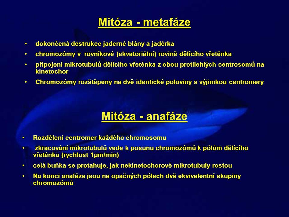 Mitóza - metafáze dokončená destrukce jaderné blány a jadérka chromozómy v rovníkové (ekvatoriální) rovině dělícího vřeténka připojení mikrotubulů děl