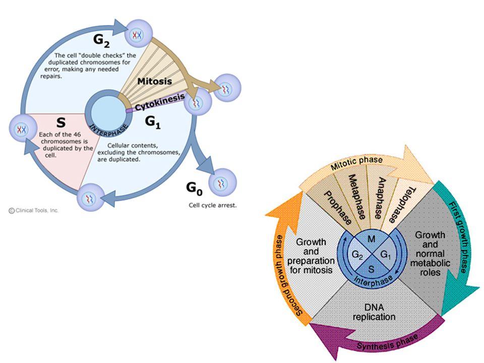 Kolchicin a mikrotubuly vazba kolchicinu na monomery tubulinu zabraňuje dimerizaci – inhibice růstu mikrotubulů –blokáda mitózy (cytostatický efekt) –redukce migrace neutrofilů a chemotaxe, adheze a fagocytózy leukocytů –neurotoxicita – (axonální transport a exocytóza neurotransmiterů)