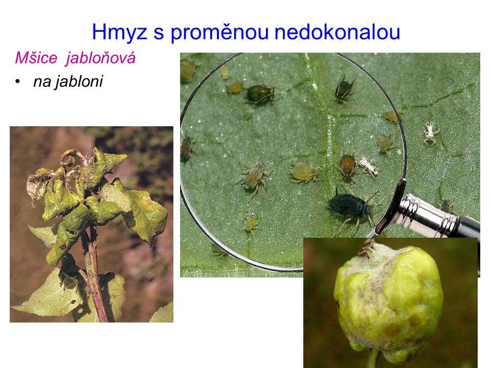 Hmyz s proměnou nedokonalou Mšice třešňová na listech třešní