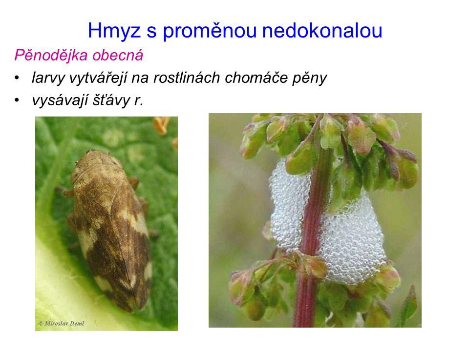 Hmyz s proměnou nedokonalou Pěnodějka obecná larvy vytvářejí na rostlinách chomáče pěny vysávají šťávy r.