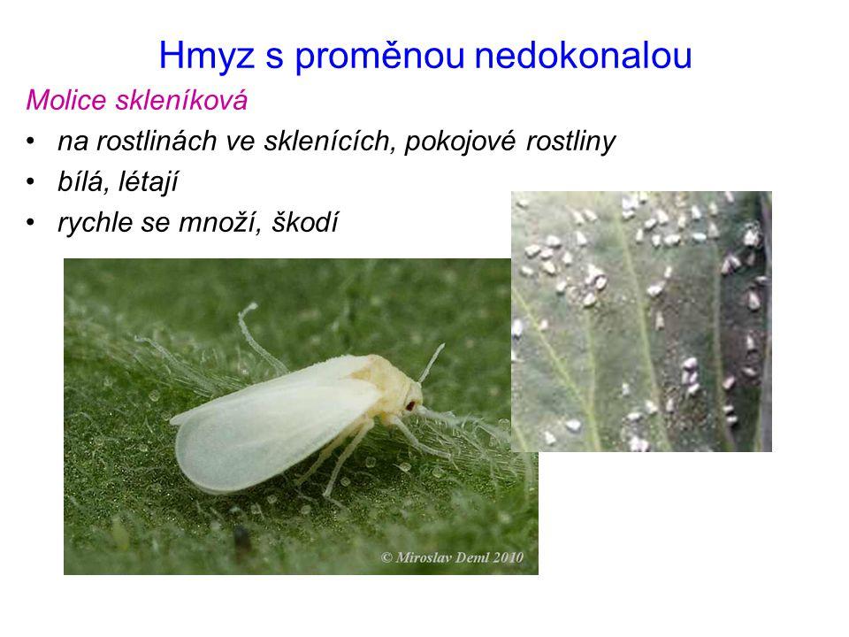 Hmyz s proměnou nedokonalou Molice skleníková na rostlinách ve sklenících, pokojové rostliny bílá, létají rychle se množí, škodí