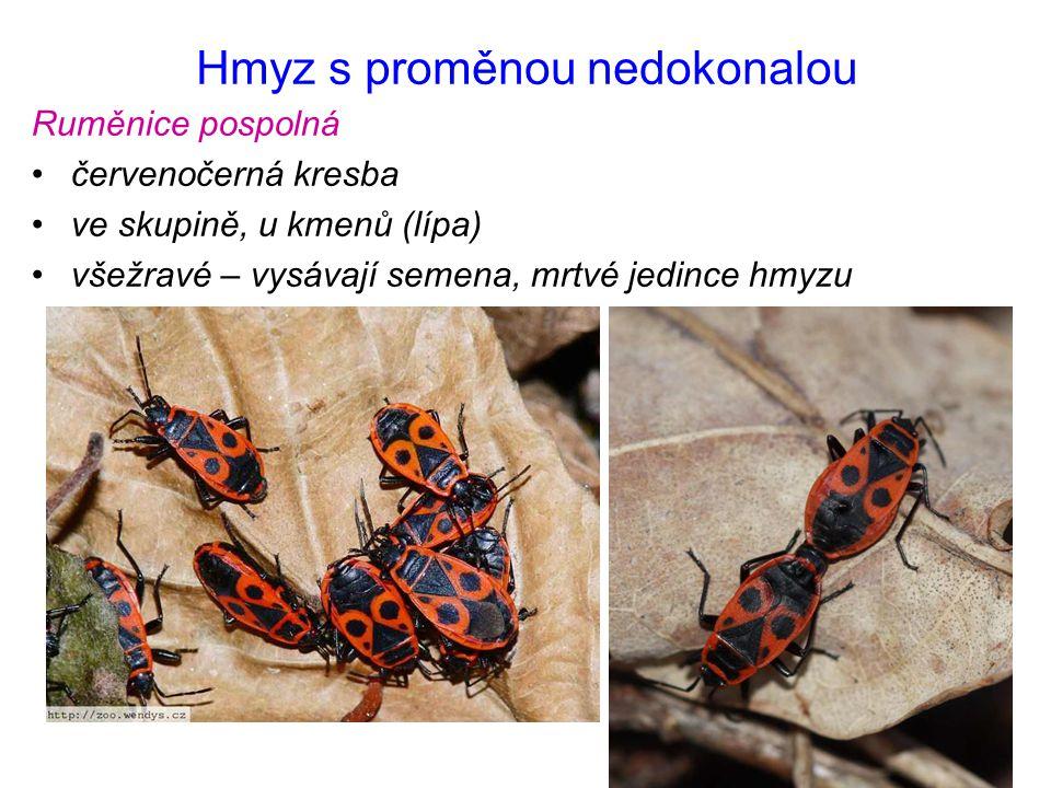 Hmyz s proměnou nedokonalou Ruměnice pospolná červenočerná kresba ve skupině, u kmenů (lípa) všežravé – vysávají semena, mrtvé jedince hmyzu