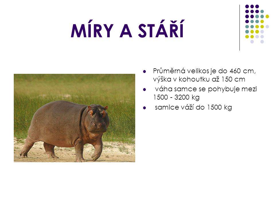 MÍRY A STÁŘÍ Průměrná velikos je do 460 cm, výška v kohoutku až 150 cm váha samce se pohybuje mezi 1500 - 3200 kg samice váží do 1500 kg