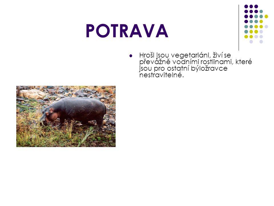POTRAVA Hroši jsou vegetariáni, živí se převážně vodními rostlinami, které jsou pro ostatní býložravce nestravitelné.
