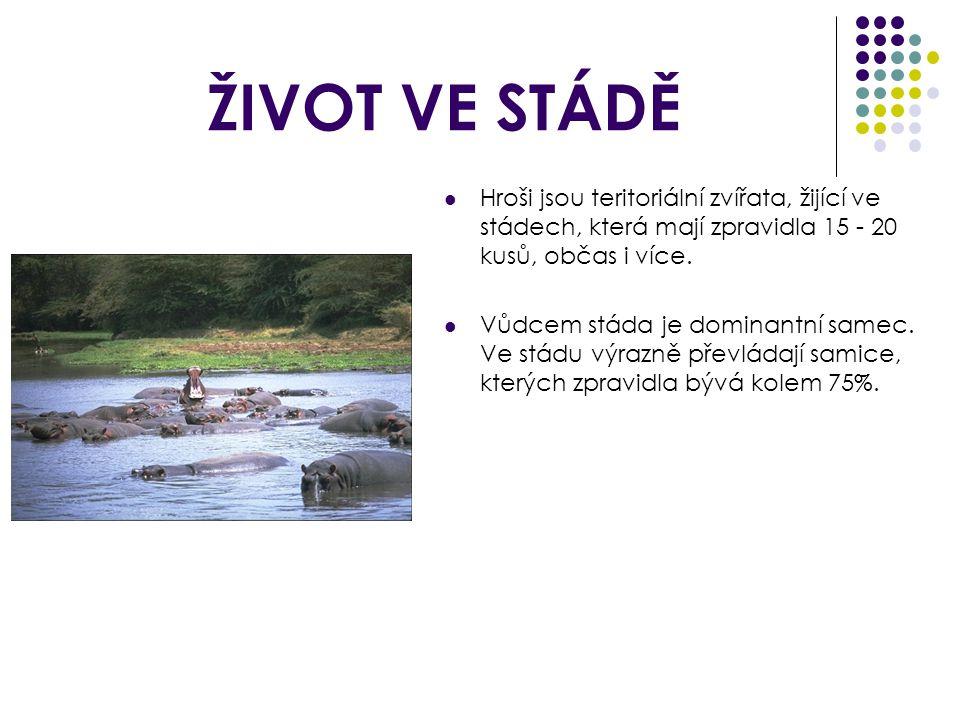 ŽIVOT VE STÁDĚ Hroši jsou teritoriální zvířata, žijící ve stádech, která mají zpravidla 15 - 20 kusů, občas i více.