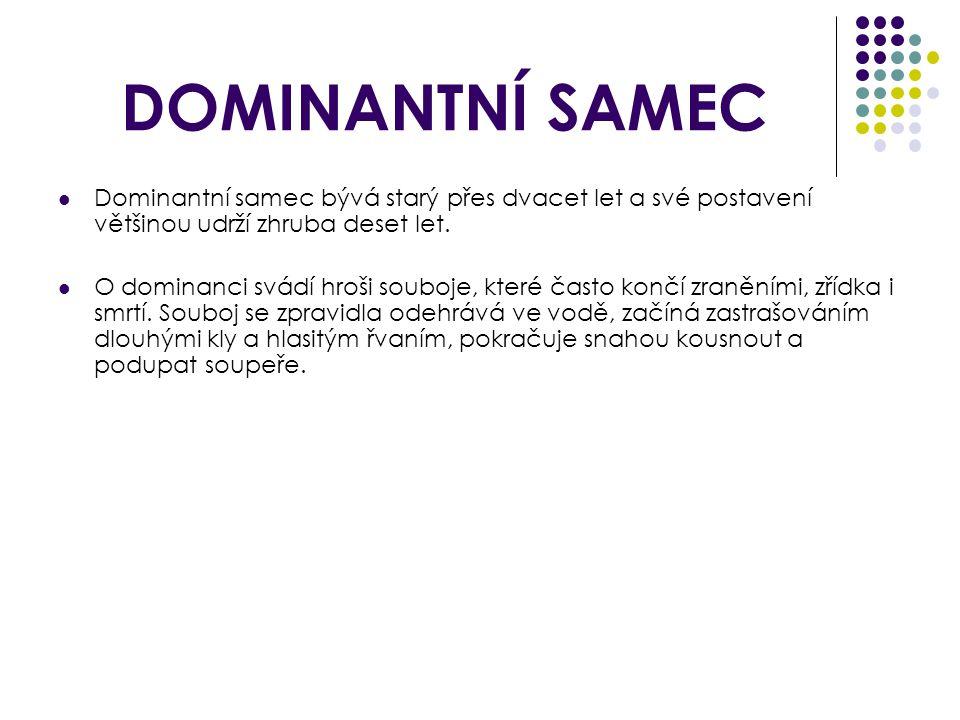 DOMINANTNÍ SAMEC Dominantní samec bývá starý přes dvacet let a své postavení většinou udrží zhruba deset let.