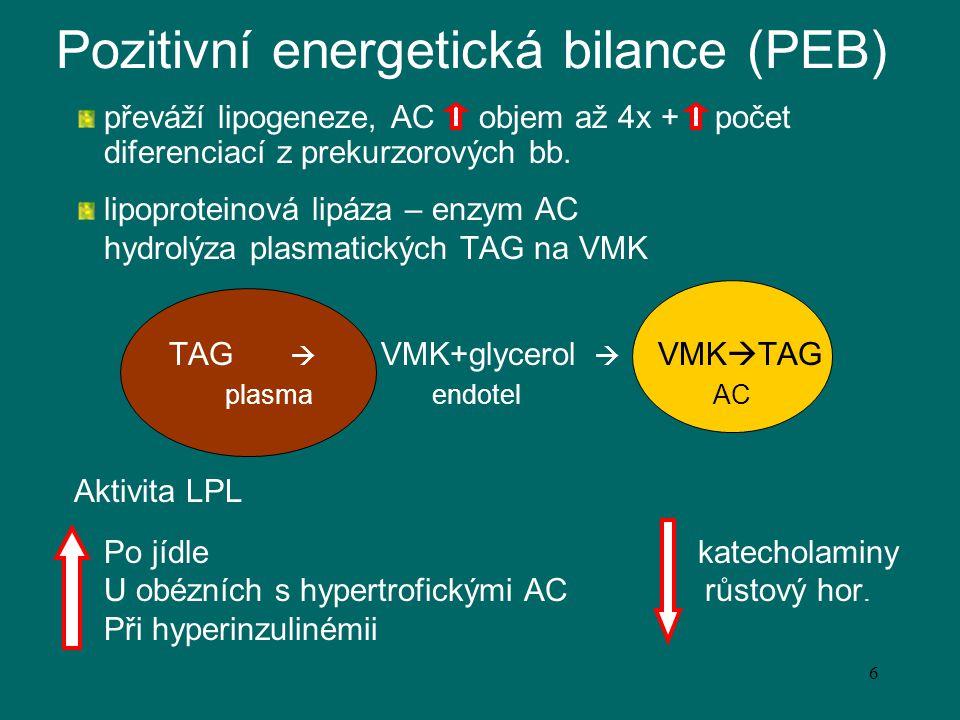 7 Negativní energetická bilance převáží lipolýza hormon-senzitivní lipáza - katalyzuje uvolňování MK ze zásobních TAG AC aktivovaná katecholaminy a růstovým hormonem inhibována inzulínem