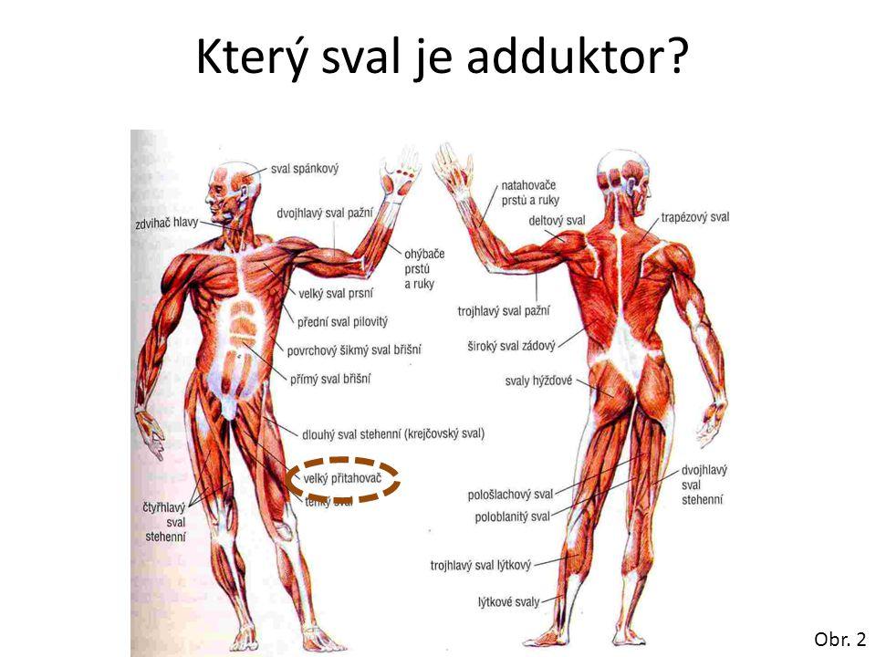 Který sval je adduktor? Obr. 2