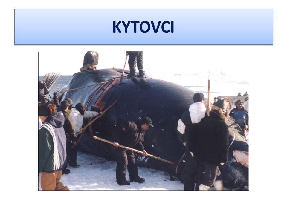 e) Kosatka dravá Kosatka dravá patří mezi větší ozubené kytovce a také je mezi nimi nejlépe poznatelná.